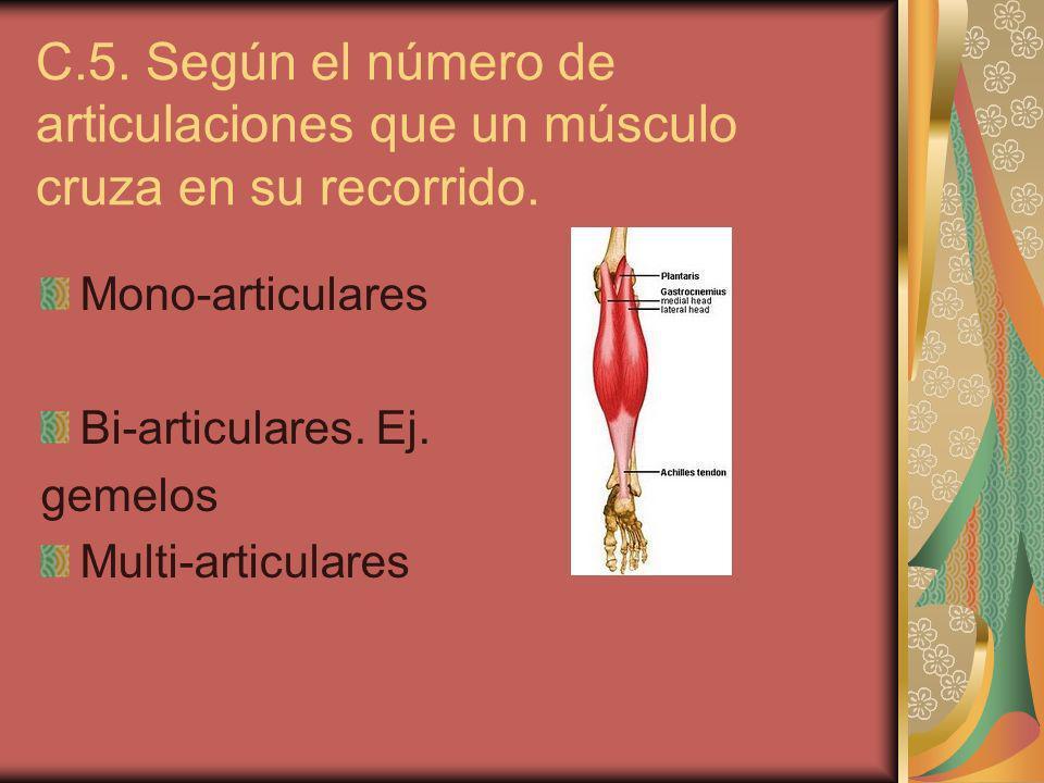 C.5. Según el número de articulaciones que un músculo cruza en su recorrido.