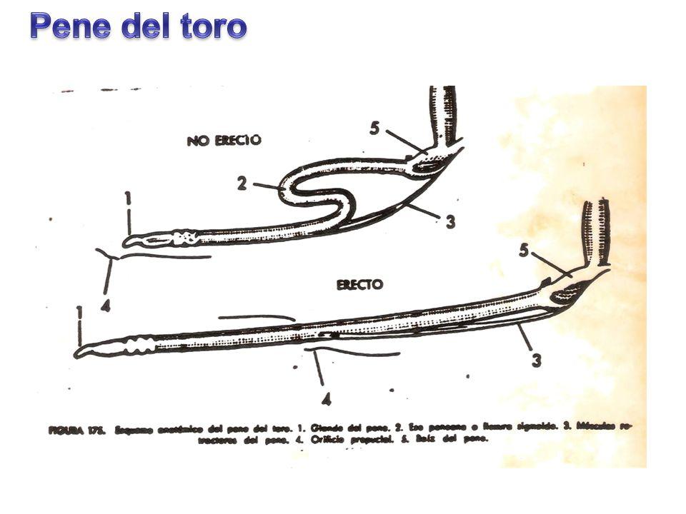 Perfecto Mri Anatomía Del Pene Foto - Anatomía de Las Imágenesdel ...