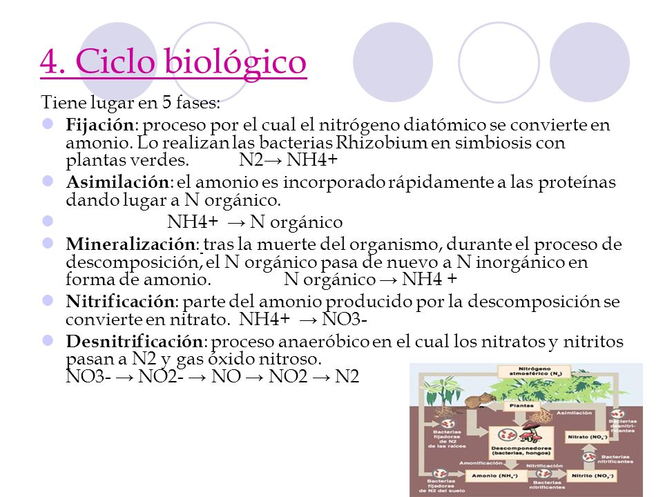 4. Ciclo biológico Tiene lugar en 5 fases: