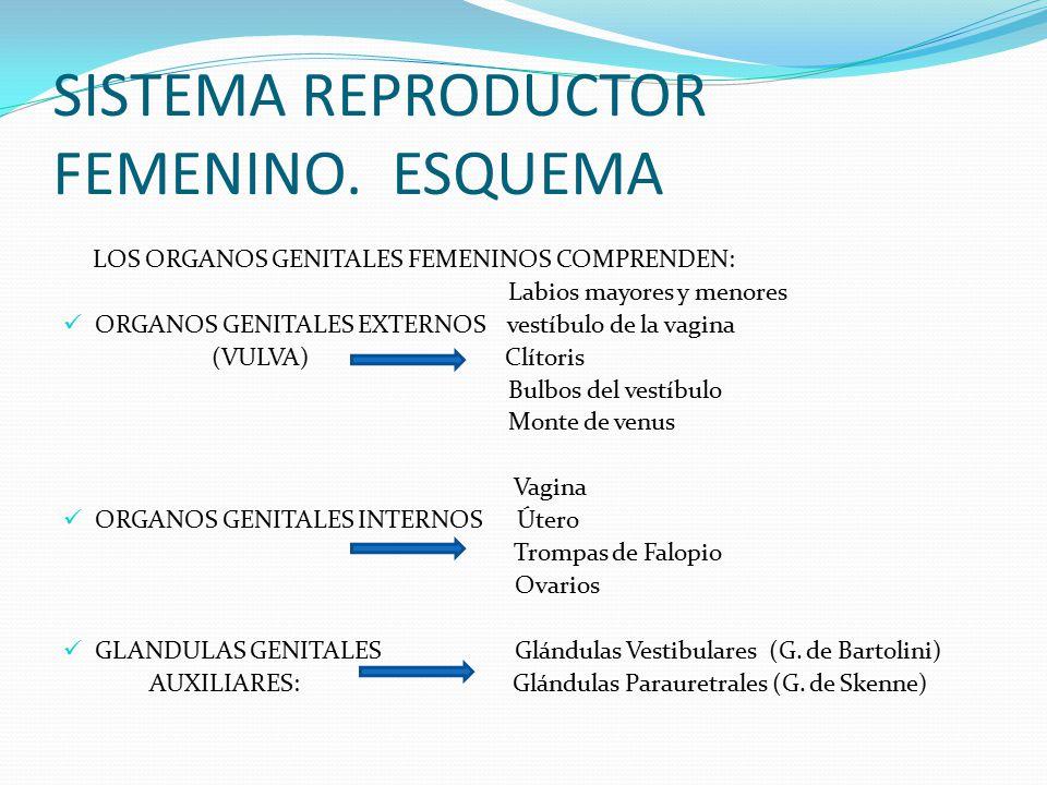 Único órganos Internos Del Diagrama De La Anatomía Femenina Bosquejo ...