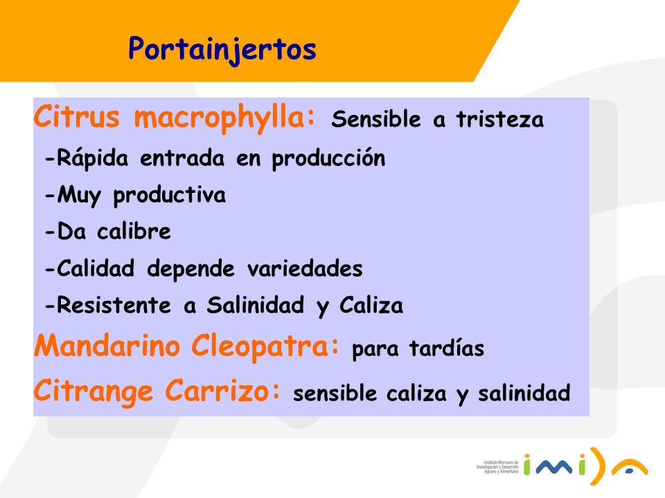 Citrus macrophylla: Sensible a tristeza