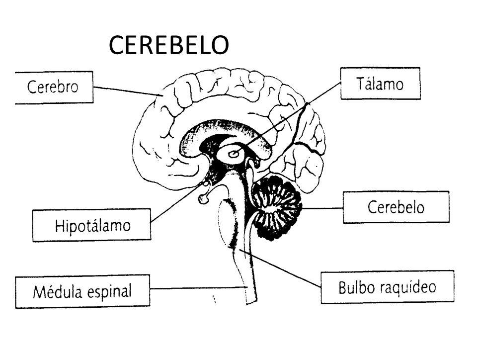 Vistoso Diagrama De La Anatomía Del Cerebro Colección de Imágenes ...