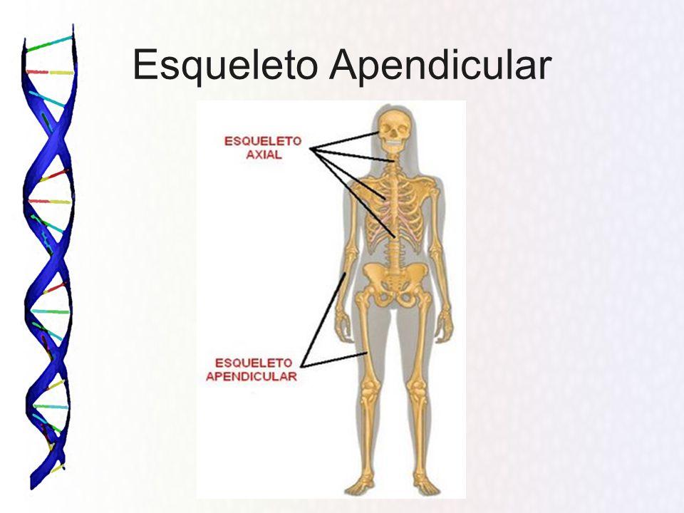 Vistoso Anatomía Definición Axial Viñeta - Imágenes de Anatomía ...