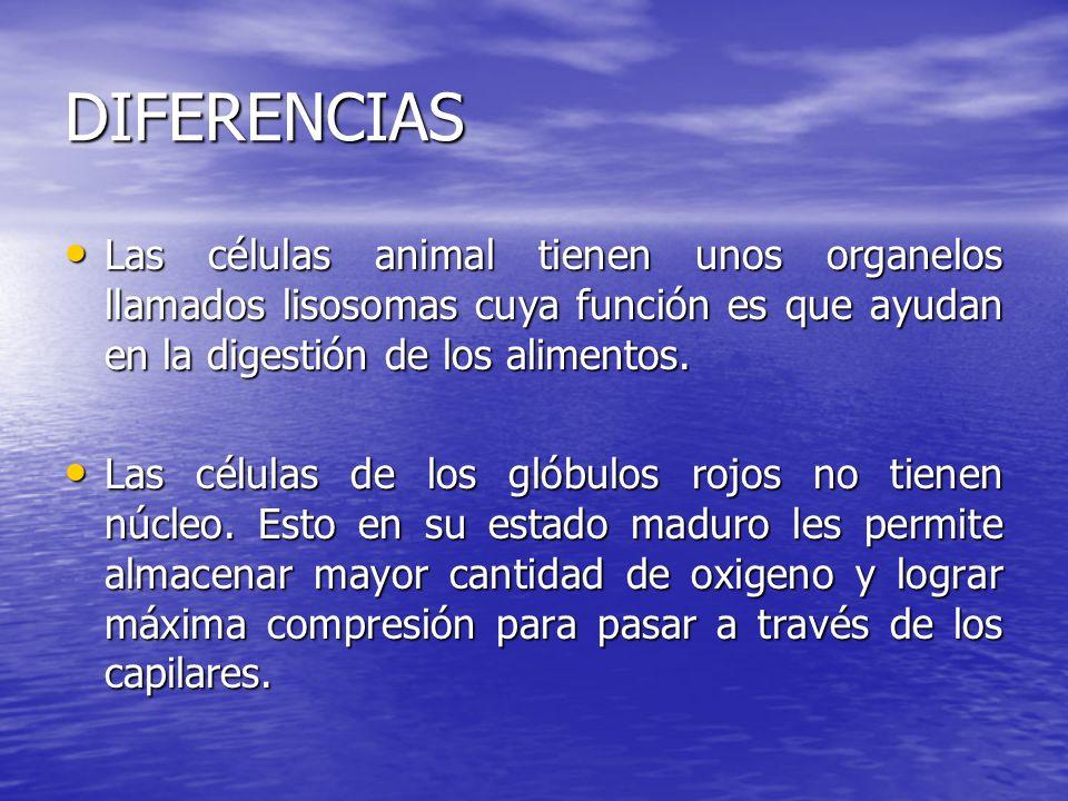 DIFERENCIAS Las células animal tienen unos organelos llamados lisosomas cuya función es que ayudan en la digestión de los alimentos.