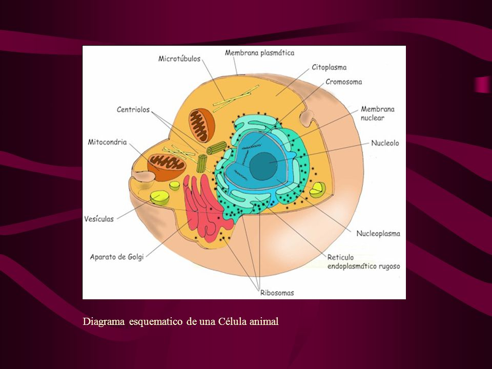 Diagrama esquematico de una Célula animal