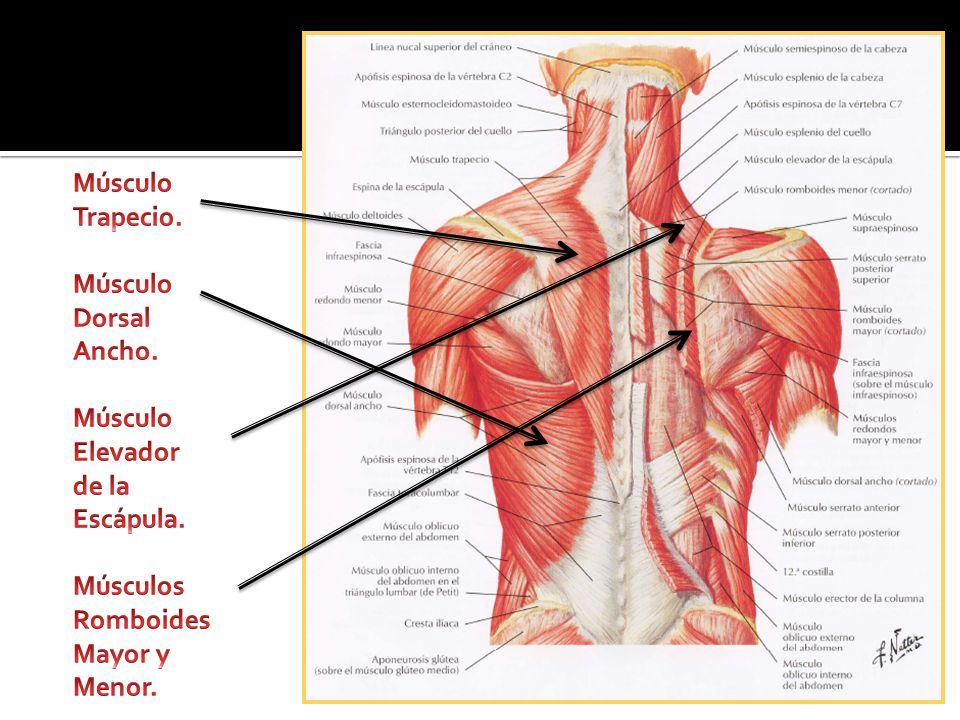 Hermosa Anatomía Muscular Escapular Imagen - Anatomía de Las ...