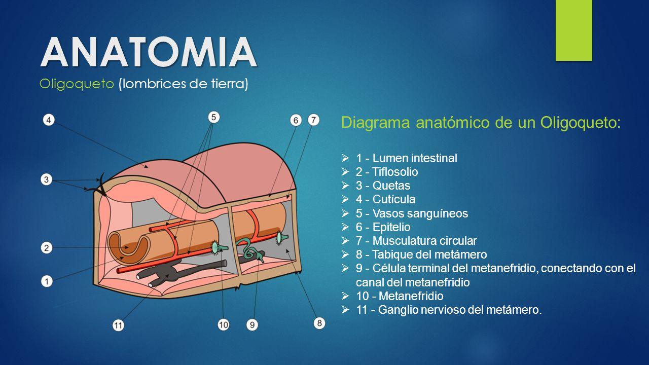 Bonito Hoja De Cálculo De La Anatomía Lombriz De Tierra Adorno ...