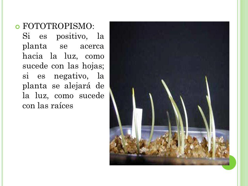 FOTOTROPISMO: Si es positivo, la planta se acerca hacia la luz, como sucede con las hojas; si es negativo, la planta se alejará de la luz, como sucede con las raíces