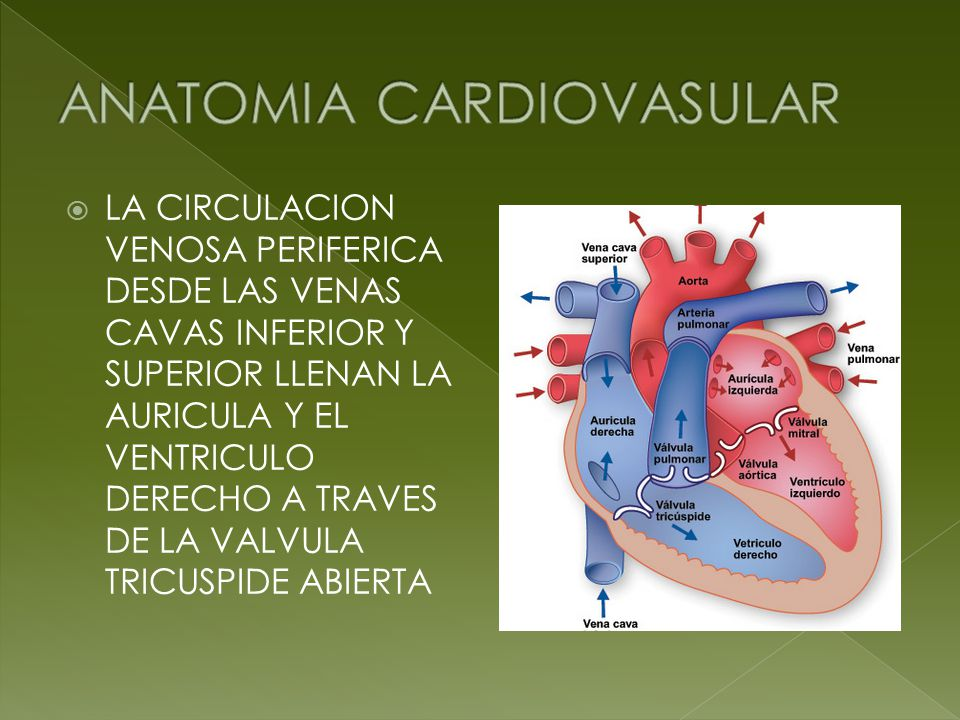 Magnífico Anatomía Venosa Pulmonar Ornamento - Anatomía de Las ...