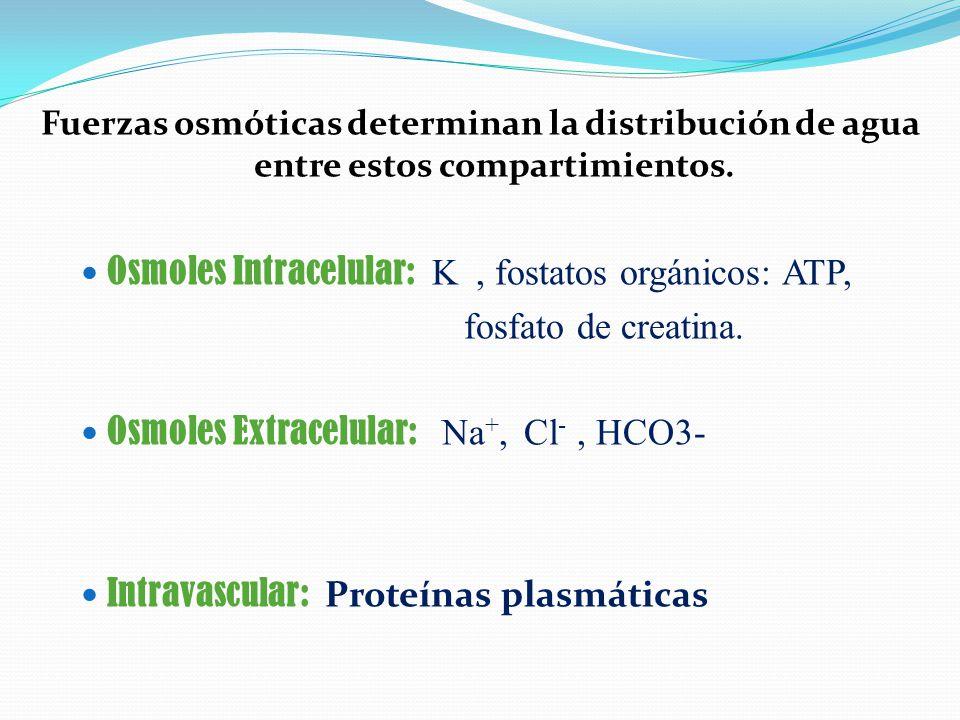 Osmoles Intracelular: K , fostatos orgánicos: ATP,