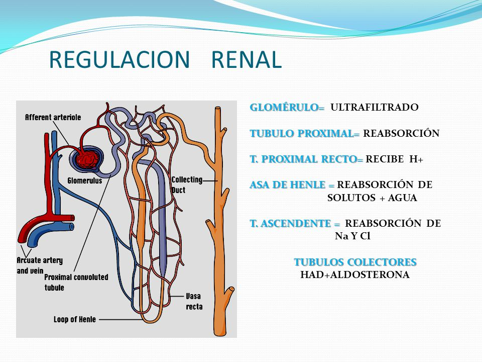 REGULACION RENAL GLOMÉRULO= ULTRAFILTRADO TUBULO PROXIMAL= REABSORCIÓN