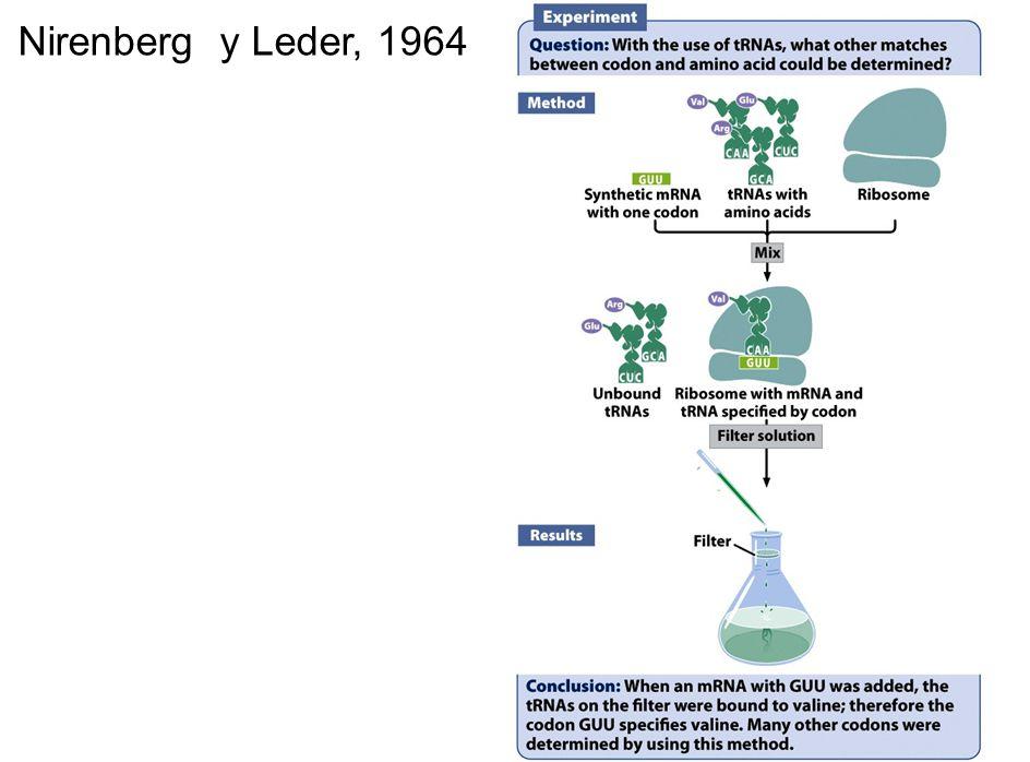 Resultado de imagen de experimento de nirenberg y leder