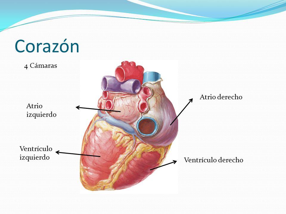Famoso Atrio Del Corazón Ornamento - Anatomía de Las Imágenesdel ...