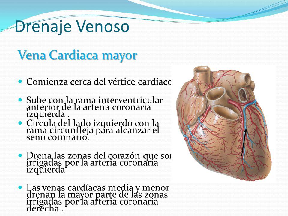 Perfecto La Anatomía Del Corazón Seno Coronario Elaboración ...