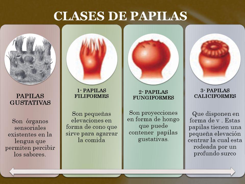 Lujoso Tipos De Papilas Gustativas Fotos - Anatomía de Las ...