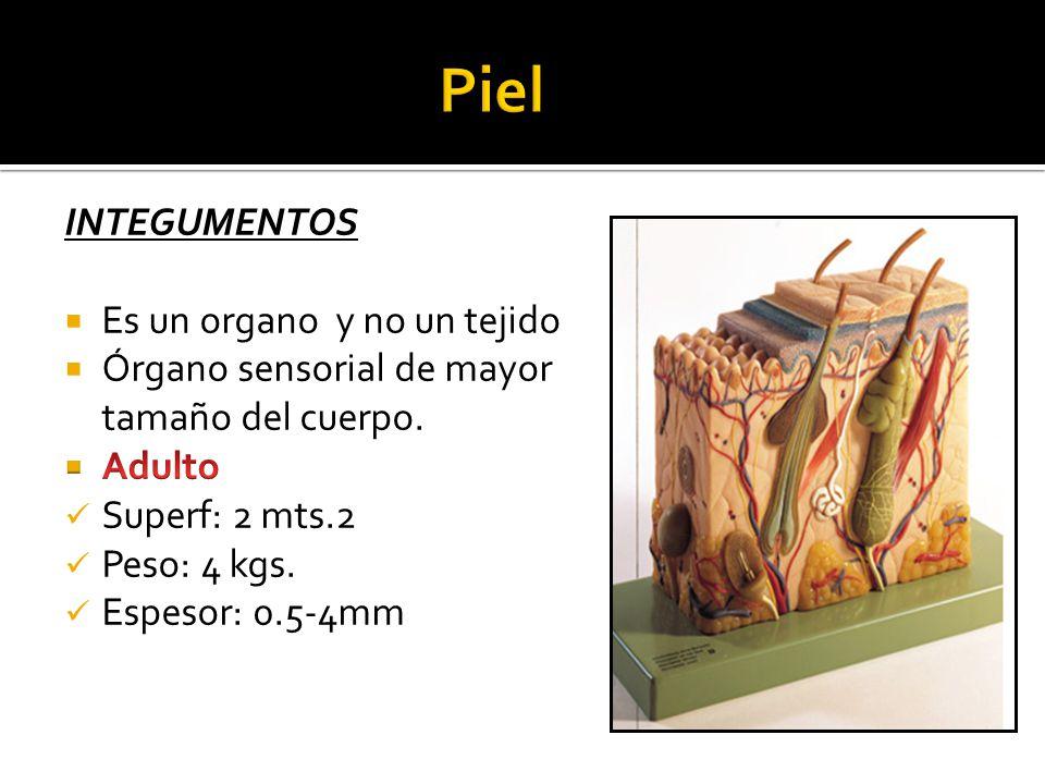 Piel INTEGUMENTOS Es un organo y no un tejido
