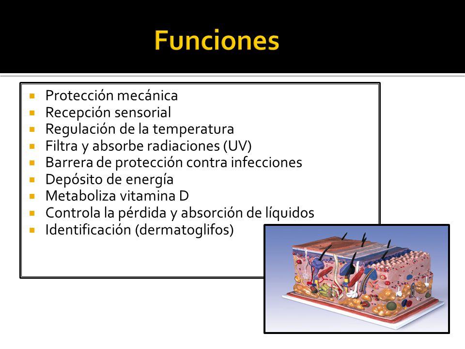 Funciones Protección mecánica Recepción sensorial