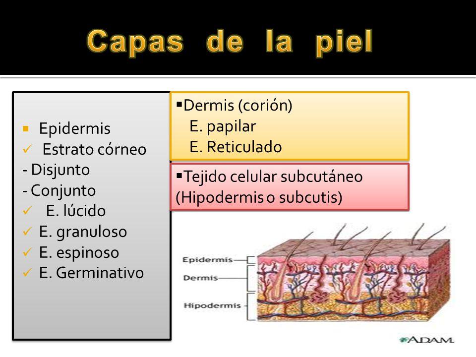Capas de la piel Dermis (corión) Epidermis E. papilar Estrato córneo