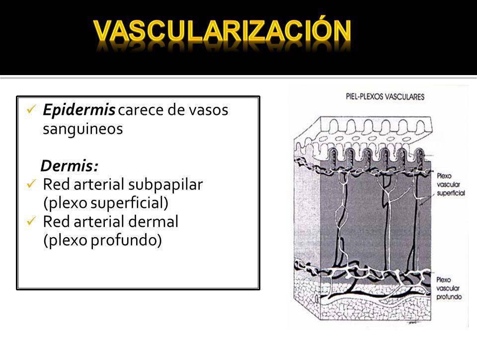 Vascularización Epidermis carece de vasos sanguineos Dermis: