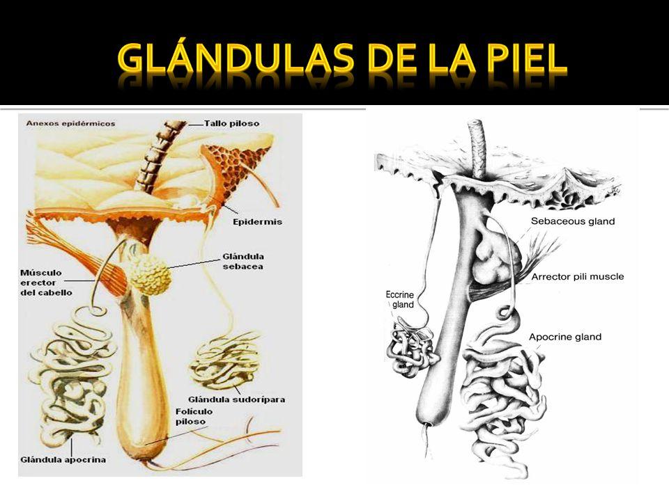 Glándulas de la piel