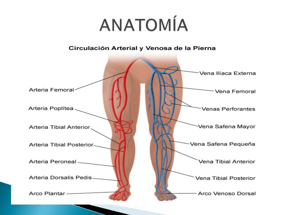 Perfecto Anatomía Arteria Peronea Colección - Anatomía de Las ...