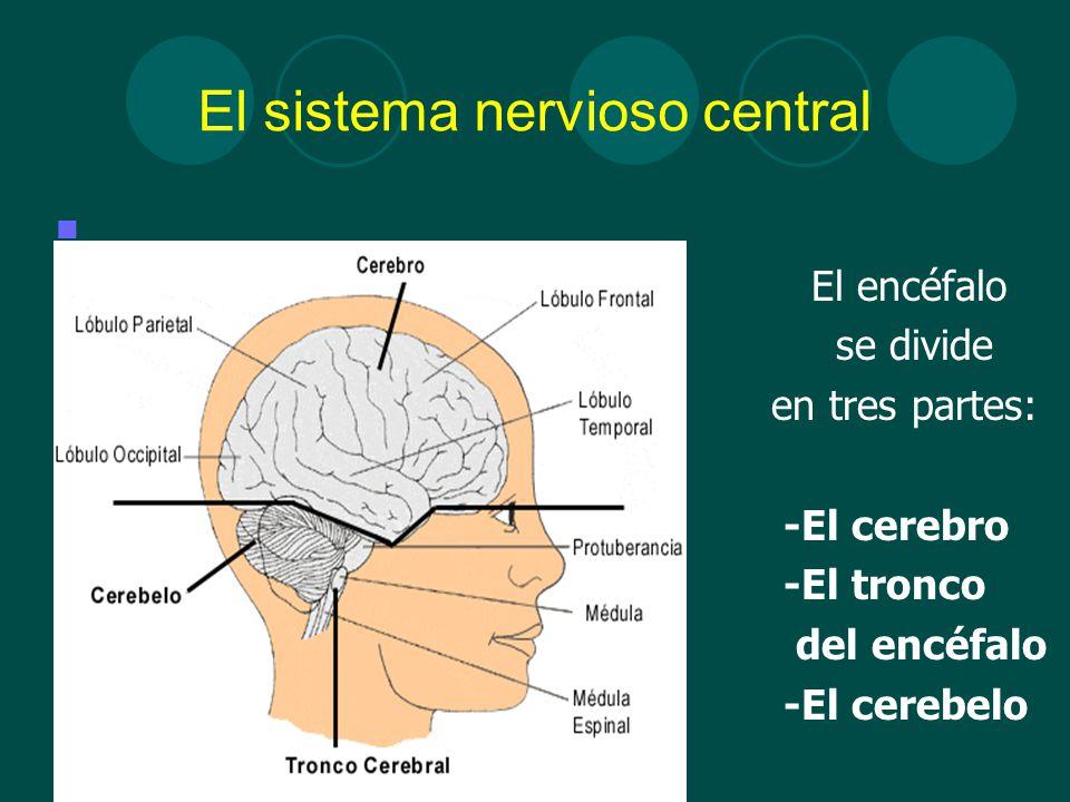 Vistoso Tres Partes Del Sistema Nervioso Imágenes - Imágenes de ...