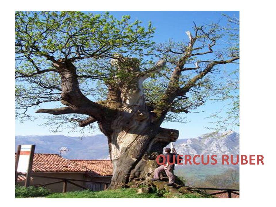 QUERCUS RUBER