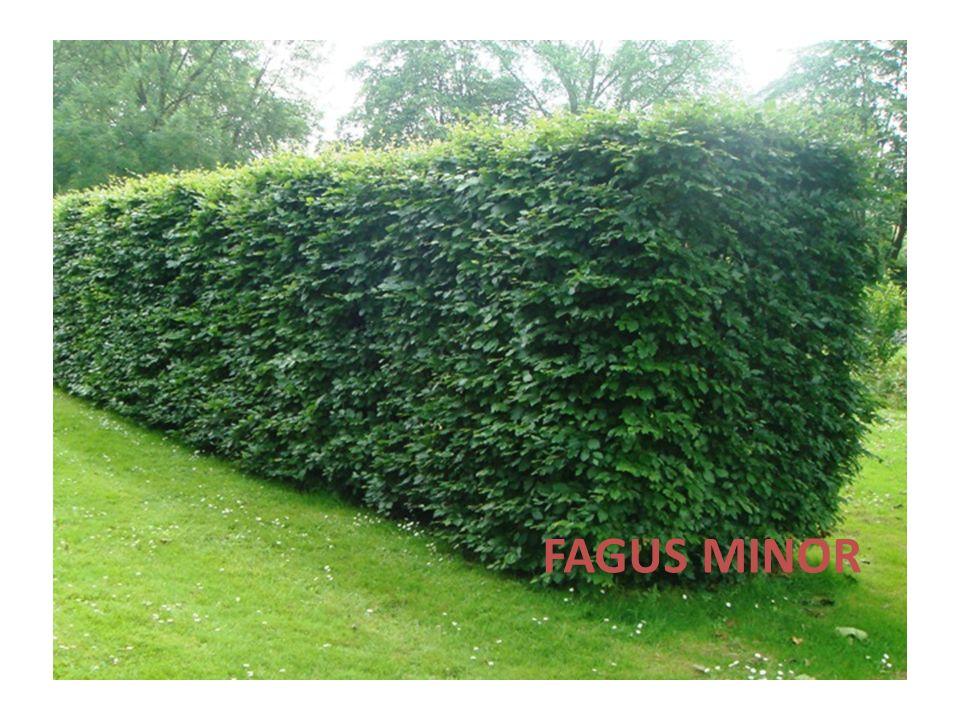 FAGUS MINOR