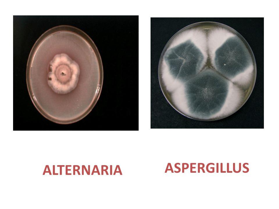 ASPERGILLUS ALTERNARIA