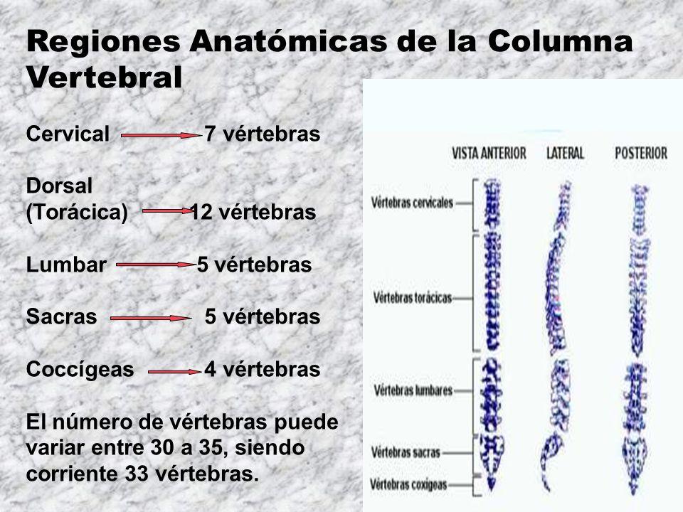Encantador Números De La Columna Vertebral Anatomía Imagen ...