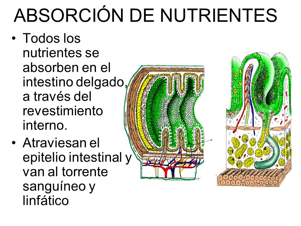 Asombroso Nutrientes Absorbidos Colección - Anatomía de Las ...