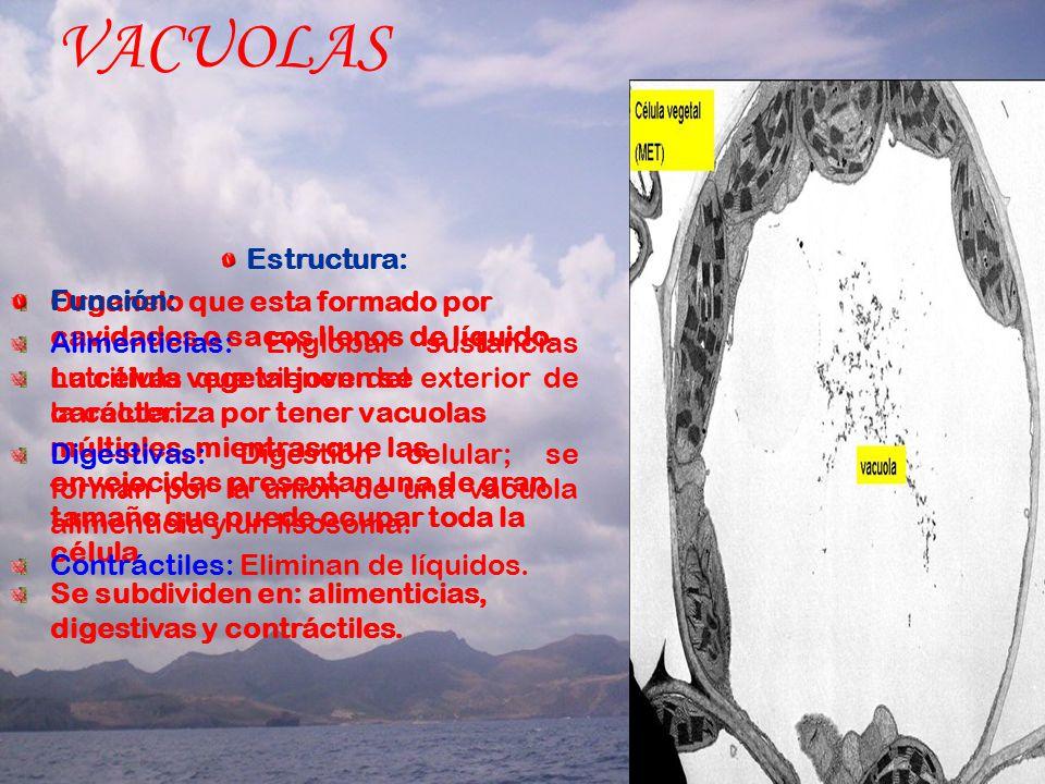VACUOLAS Estructura: Organelo que esta formado por cavidades o sacos llenos de líquido.