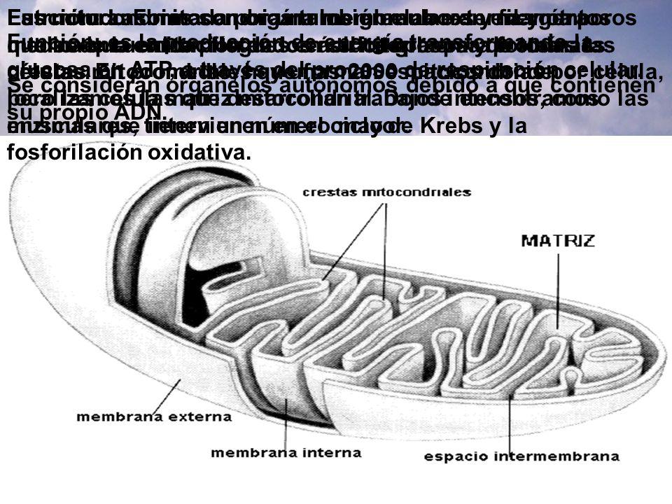 Función: Las mitocondrias también elaboran energía por medio de la oxidación de los ácidos grasos y proteínas.