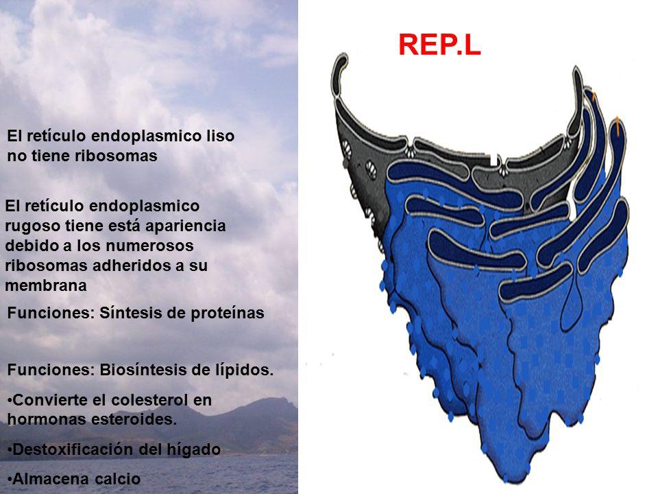 REP.L REP.R El retículo endoplasmico liso no tiene ribosomas