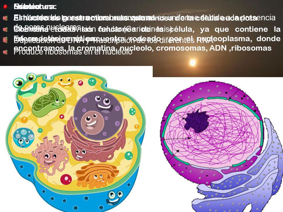 Núcleo El núcleo es la estructura más voluminosa de la célula eucariota.