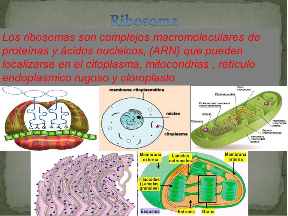 Los ribosomas son complejos macromoleculares de proteínas y ácidos nucleicos, (ARN) que pueden localizarse en el citoplasma, mitocondrias , retículo endoplasmico rugoso y cloroplasto