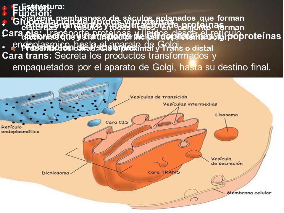 Glucosilación de lípidos y proteínas