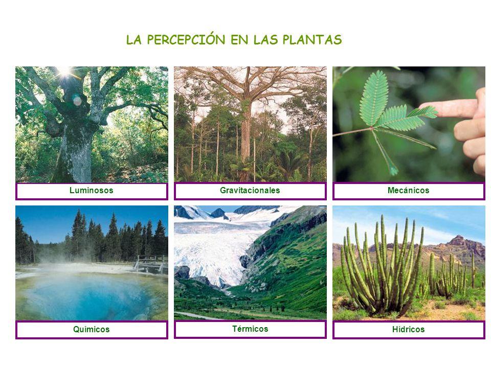 LA PERCEPCIÓN EN LAS PLANTAS