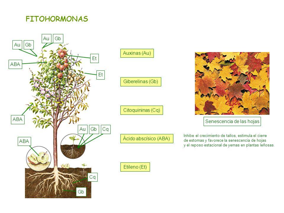 Senescencia de las hojas