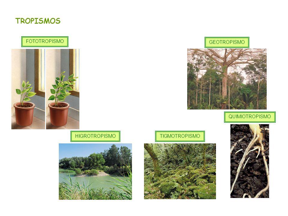 TROPISMOS FOTOTROPISMO GEOTROPISMO QUIMIOTROPISMO HIGROTROPISMO