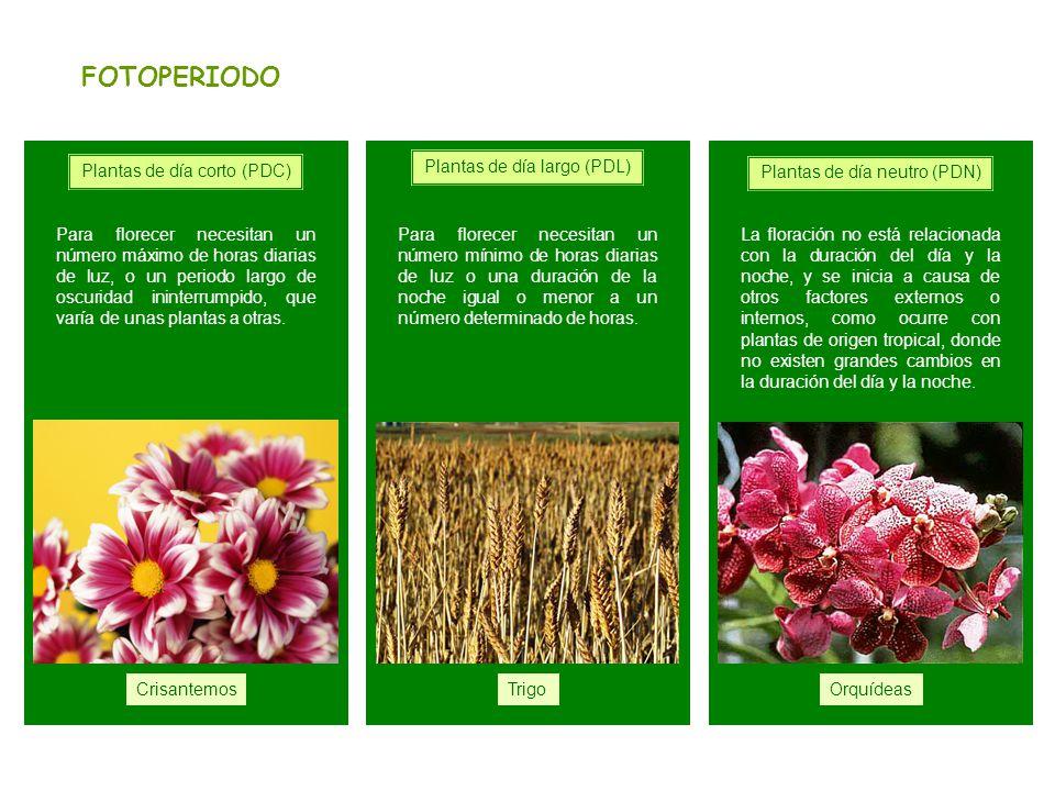 FOTOPERIODO Plantas de día corto (PDC) Plantas de día largo (PDL)