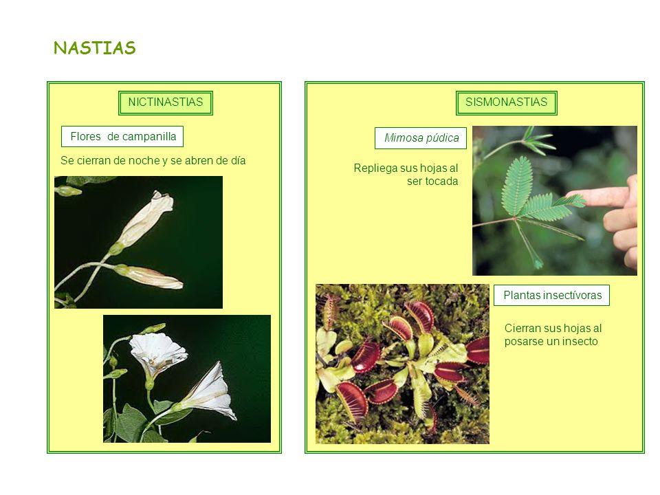NASTIAS NICTINASTIAS SISMONASTIAS Flores de campanilla Mimosa púdica
