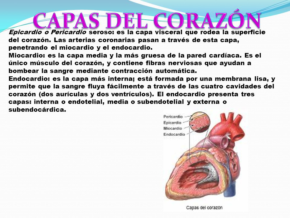 Lujo Donde Se Encuentra El Corazón Modelo - Imágenes de Anatomía ...
