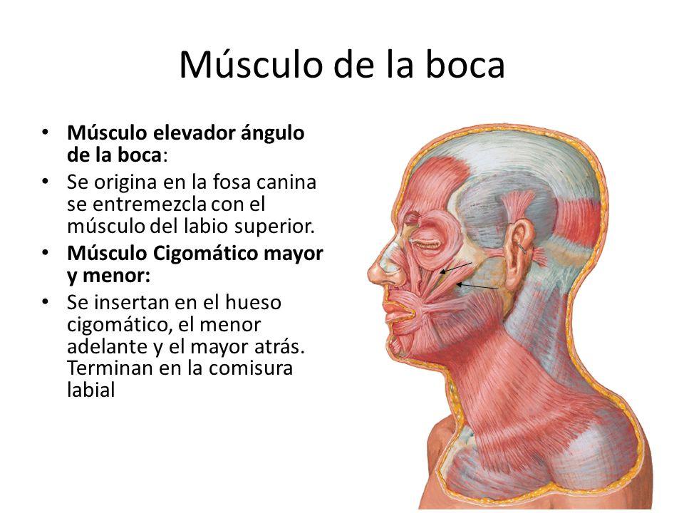 Músculo de la boca Músculo elevador ángulo de la boca: