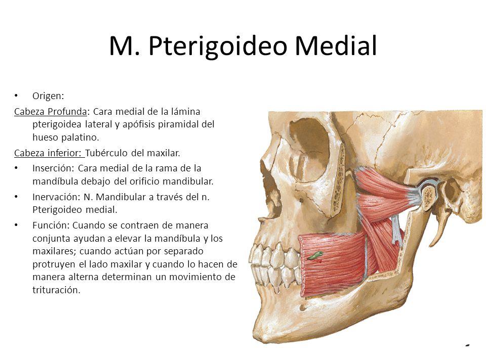 M. Pterigoideo Medial Origen: