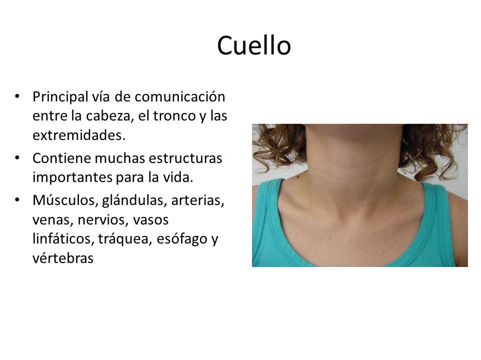Cuello Principal vía de comunicación entre la cabeza, el tronco y las extremidades. Contiene muchas estructuras importantes para la vida.