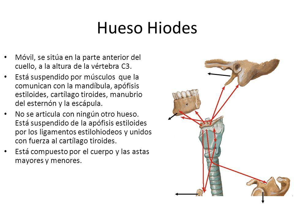 Hueso Hiodes Móvil, se sitúa en la parte anterior del cuello, a la altura de la vértebra C3.