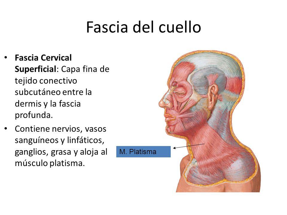 Fascia del cuello Fascia Cervical Superficial: Capa fina de tejido conectivo subcutáneo entre la dermis y la fascia profunda.