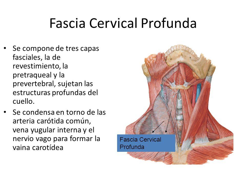 Fascia Cervical Profunda