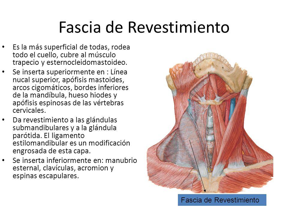 Dorable Glándulas Del Diagrama De Cuello Inspiración - Anatomía de ...